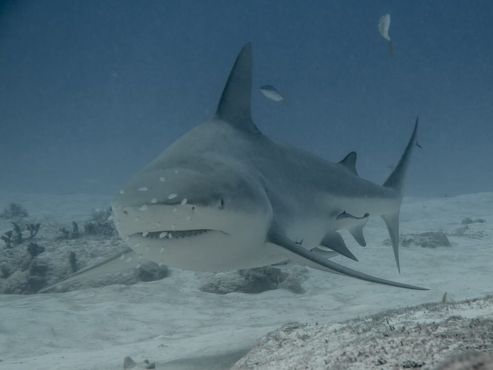Diving with Bullsharks