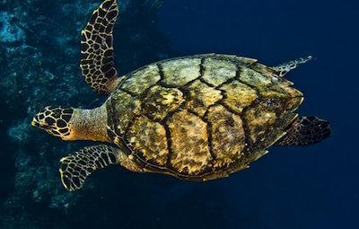 Hawksbill Schildkröte