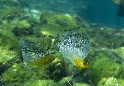 Fisch in Cenote El Eden