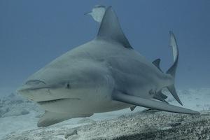 Tauchen mit Bullenhaien im Freiwasser